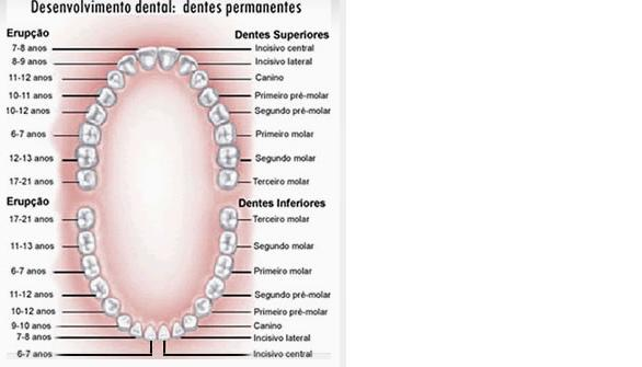 Muito Anatomia dos dentes | Sorridents - Clínicas Odontológicas AE19